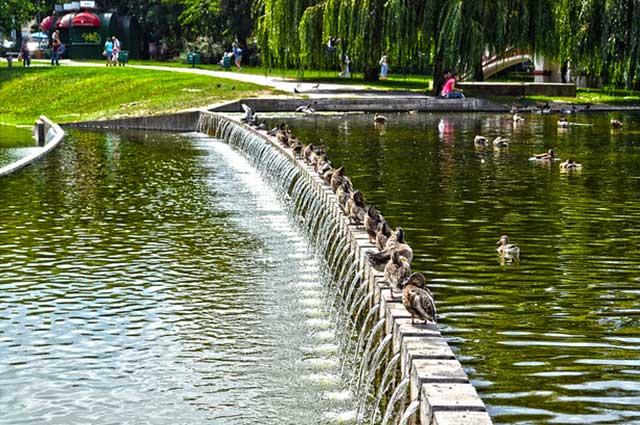 הברווזים באגם